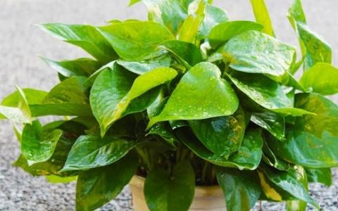 除甲醛的植物有哪些?绿萝、常春藤、吊兰、龟背竹能除甲醛吗?
